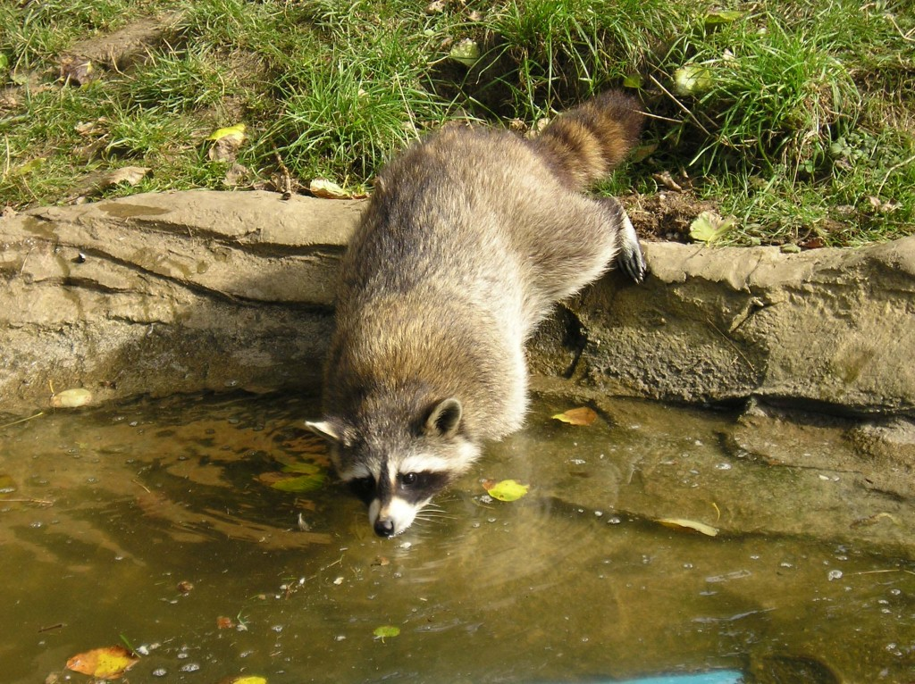 Raccoon in stream